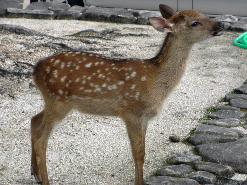 Rehkitz auf Itsukushima