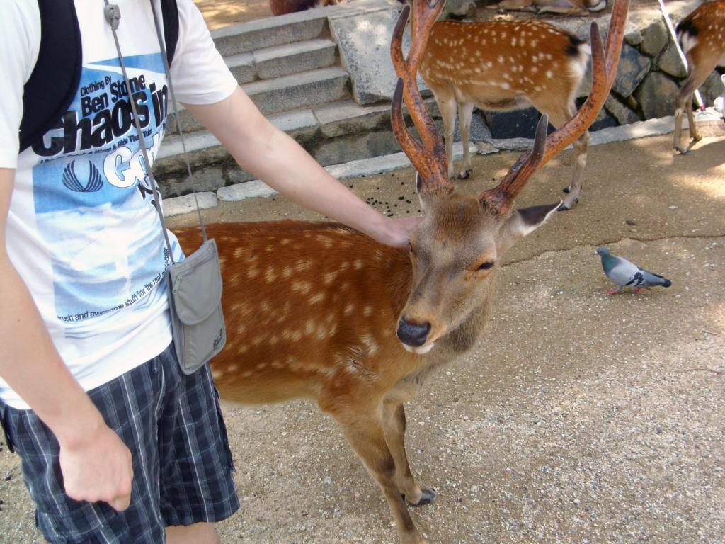 Ein zutrauliches Reh in Nara