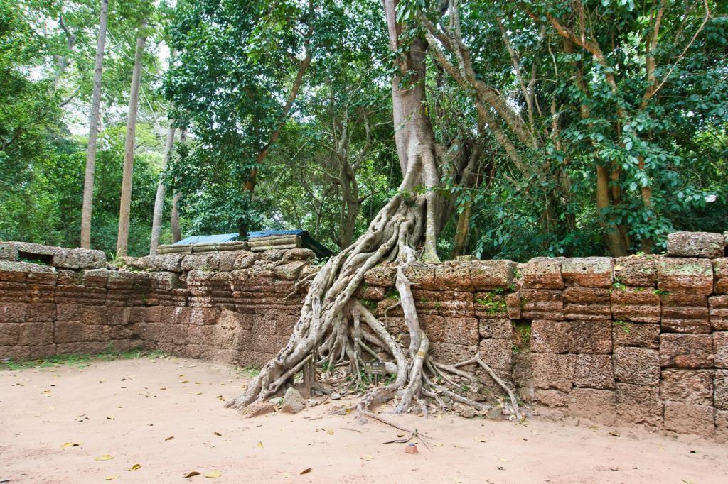 Baum beim Ta Prohm in Kambodscha