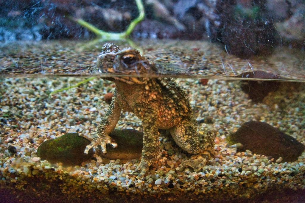 Frosch im Singapore Zoo in Singapur