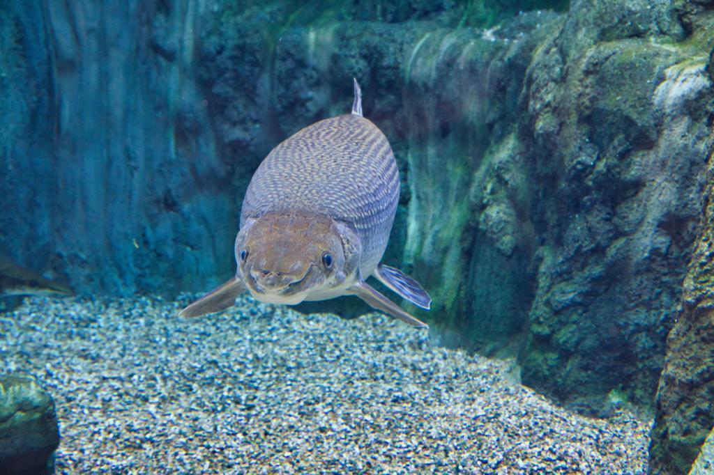 Dicker Fisch in der River Safari in Singapur