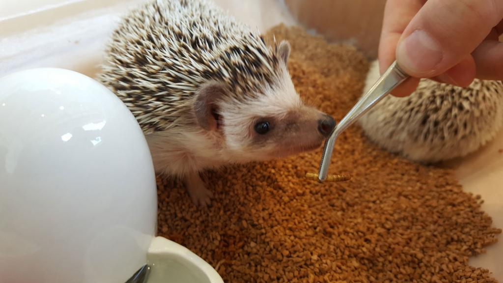 Igel im Igelcafé den ich mit einer Pinzette füttere