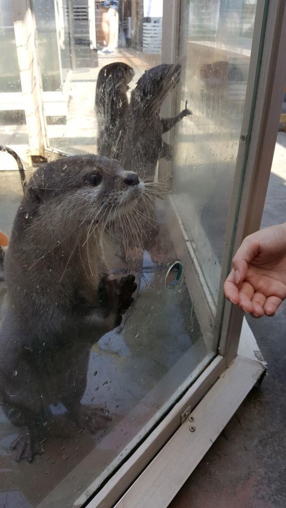 Otter guckt durchs Glas