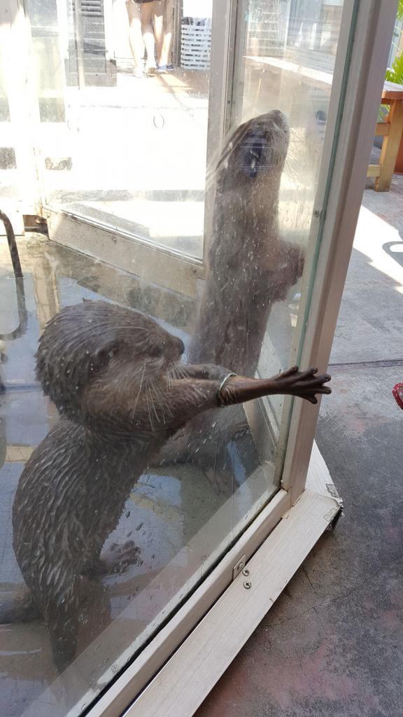 Otters treckt seien Hand aus dem Gehege