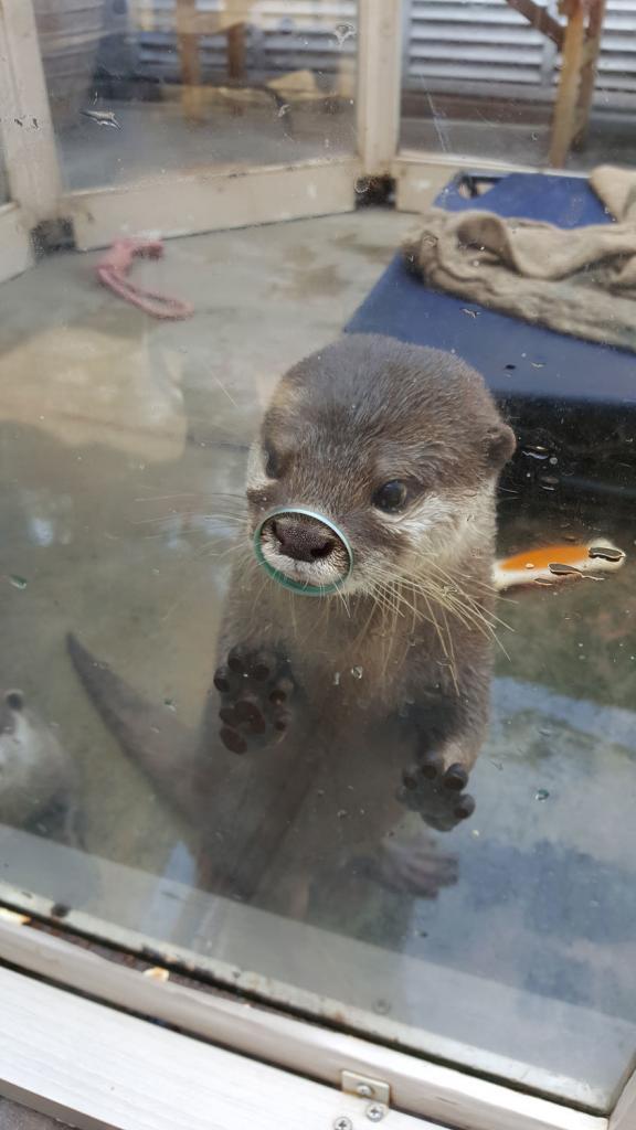 Otter guckt durchs Loch