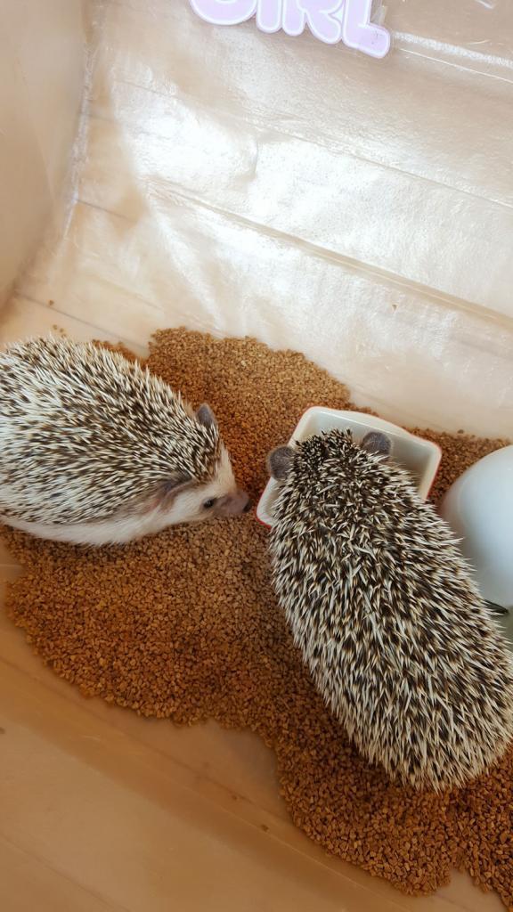 Zwei Igel im Igelcafé in Harajuku