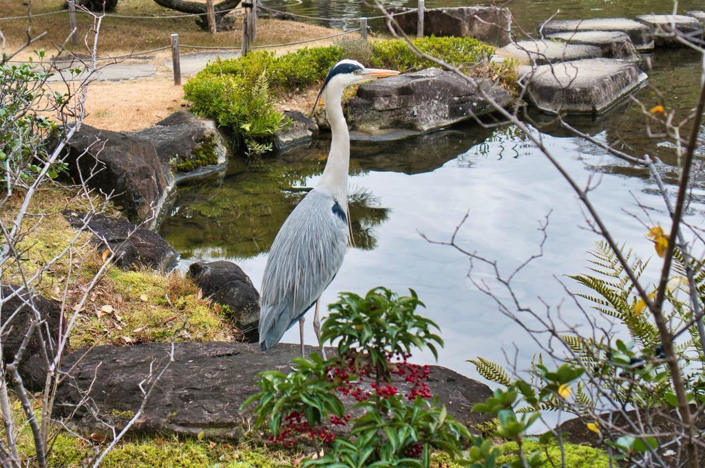 Silberreiher an einem Teich im Koko-en Park in Himeji.