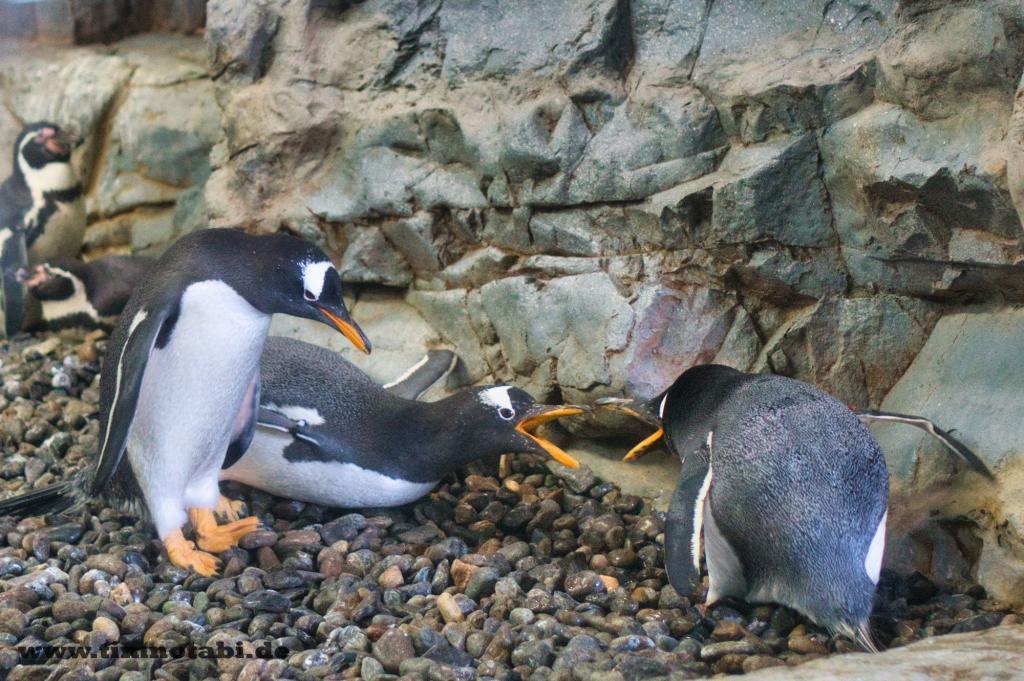 Pinguine im Asahiyama Zoo