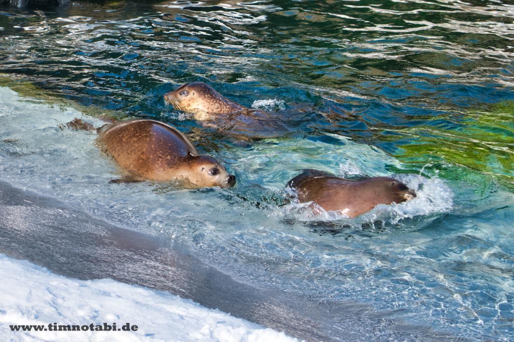 Drei Robben im Asahiyama Zoo