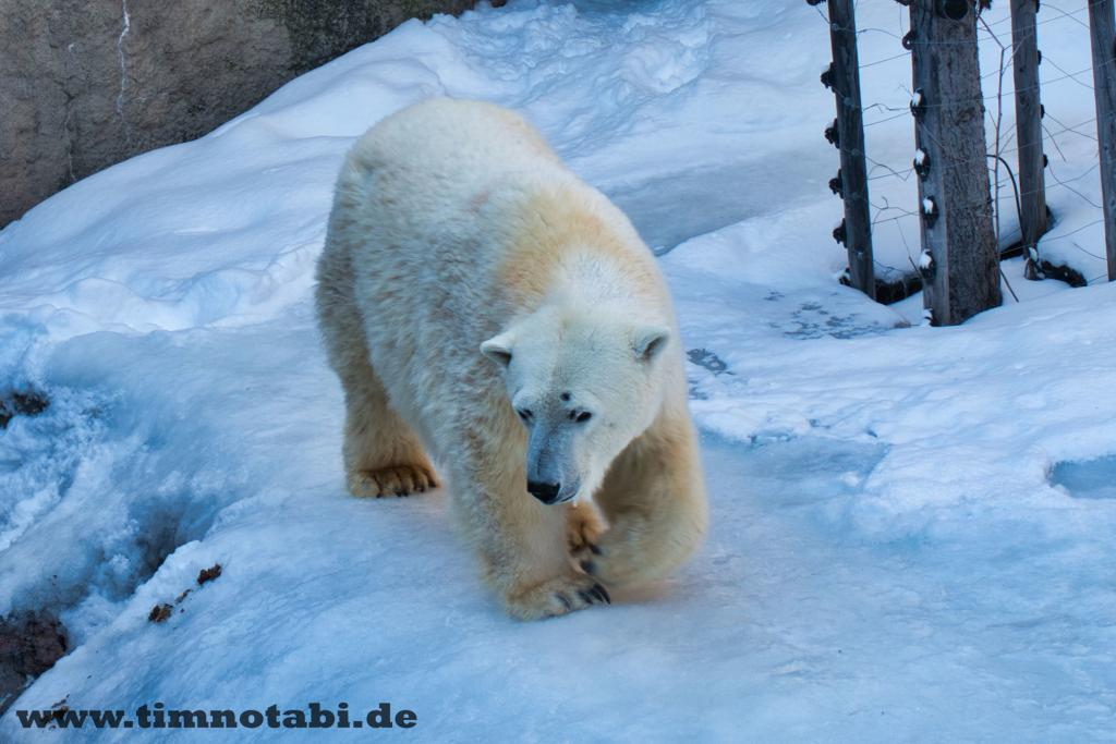 Eisbär im Asahiyama Zoo