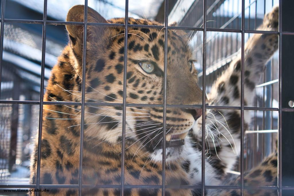 Leopard im Asahiyama Zoo