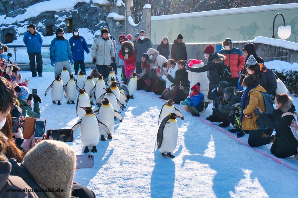 Pinguinspaziergang im Asahiyama Zoo