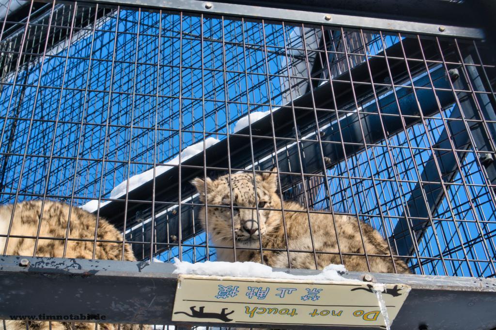 Schneeleopard im Asahiyama Zoo