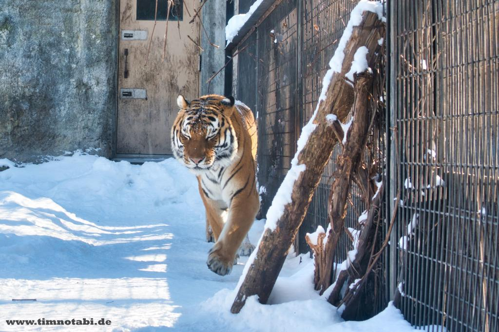 Tiger im Asahiyama Zoo