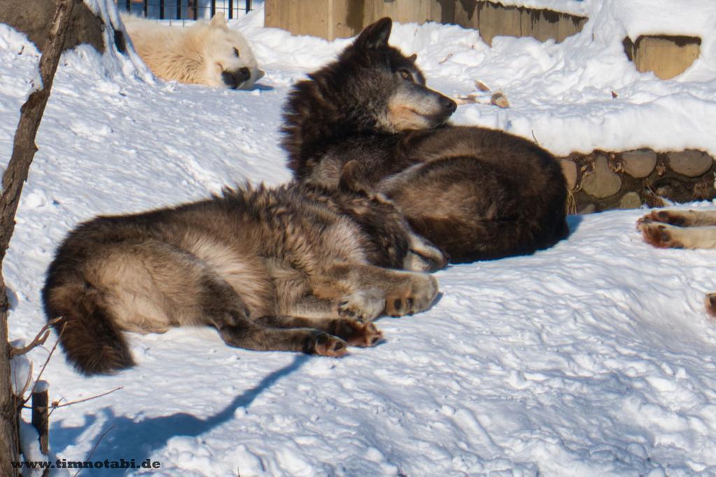 Zwei Wölfe im Asahiyama Zoo