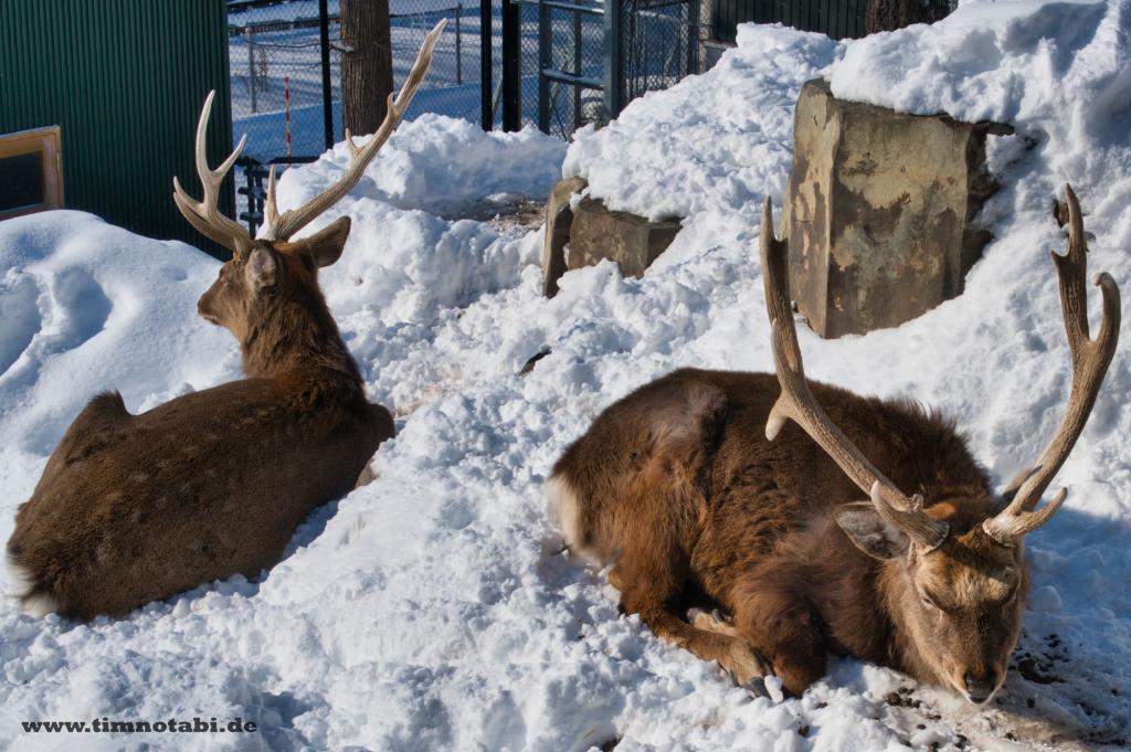 Zwei Hirsche im Asahiyama Zoo
