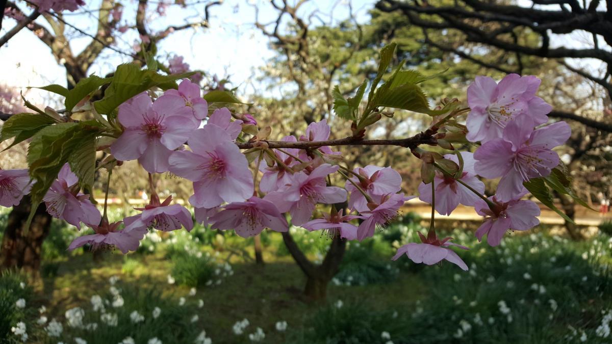 Bild eines Zweiges mit blühende Kirschblüten