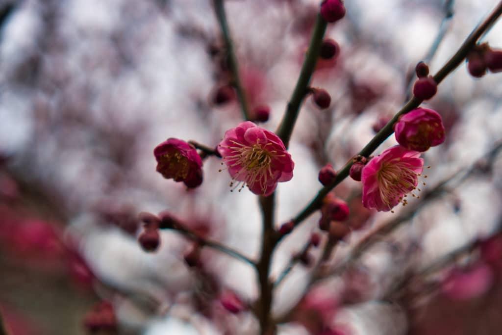 Ein Ast mit roten Blüten in Japan im Frühling