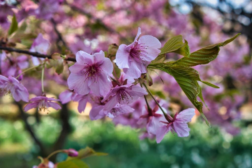 Ein Ast mit rosa Kirschblüten in Japan im Frühling