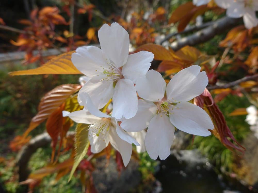 Weiße Blüten in Japan im Frühling