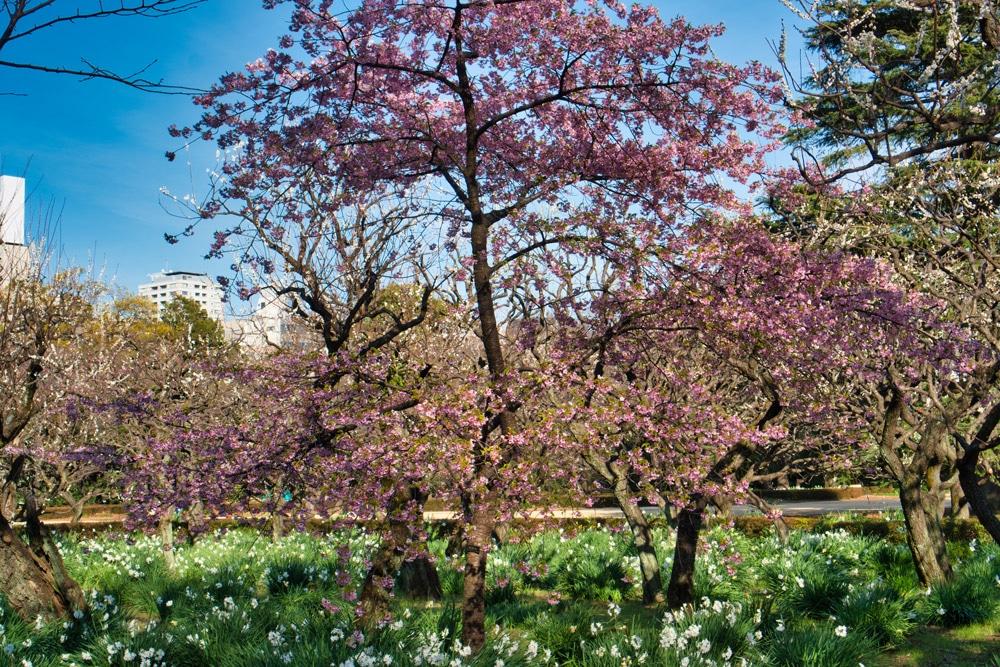 Blühender Kirschbaum in Japan im Frühling