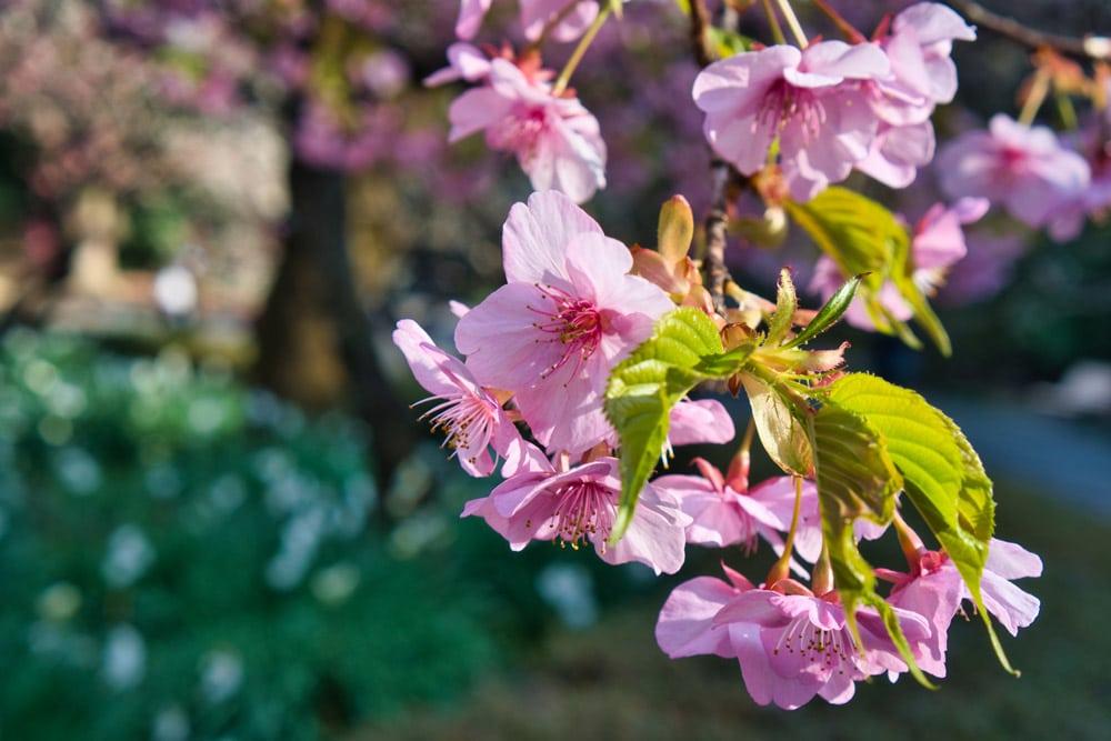 Kirschblüten in Japan im Frühling