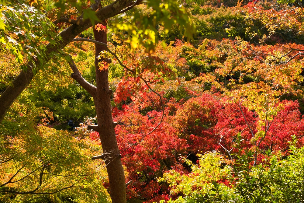 Bäume mit bunten Blättern in Kyoto in Japan im Herbst