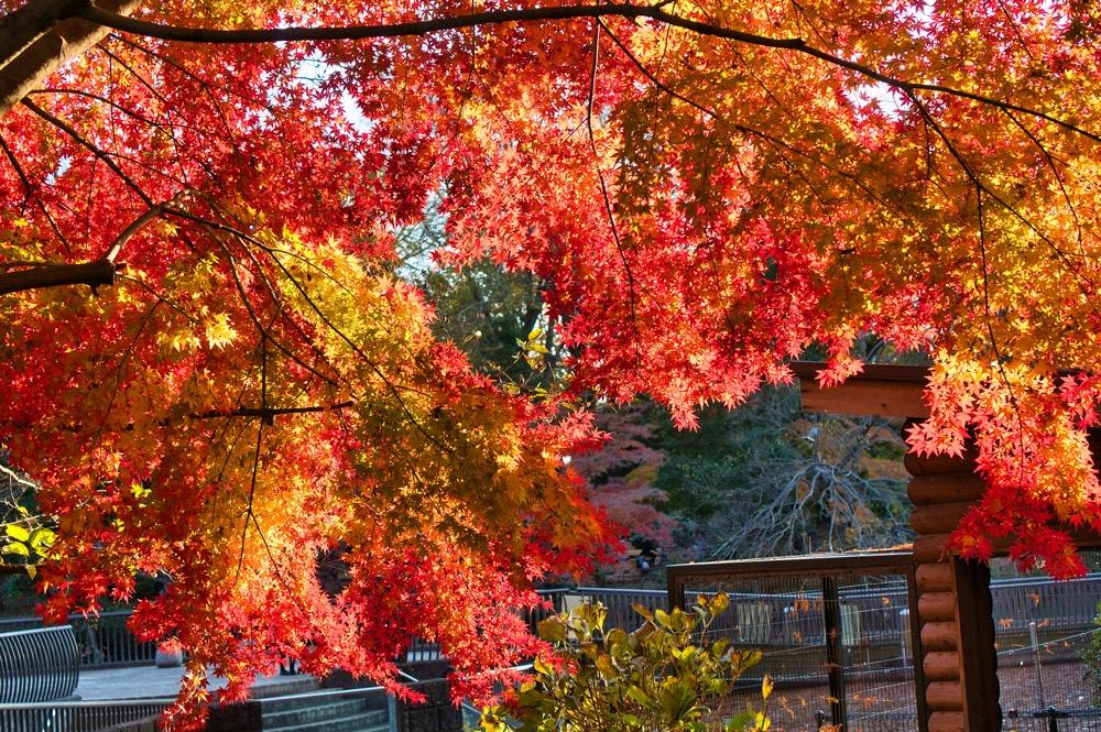 Bunte Blätter in Tokio in Japan im Herbst