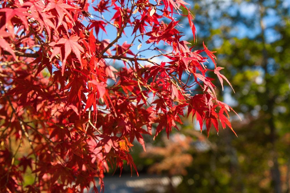 Rote Blätter an einem Baum in Japan im Herbst